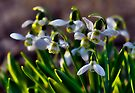 Snowdrops Angels by LudaNayvelt