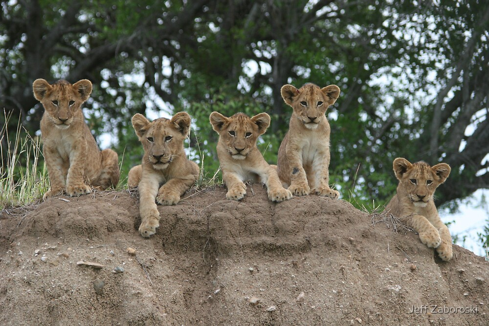 5 Lion Cubs by Jeff Zaboroski