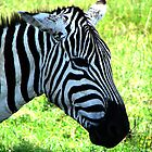Zebra at Lake Nakuru by Jemma Assender