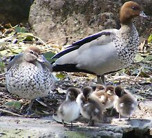 Australian Wood Ducks & Ducklings by BevB