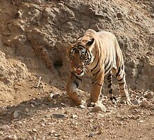 Walking Tiger by Jeff Zaboroski