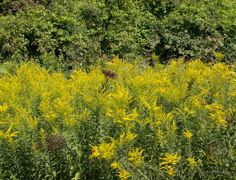 Field of mustard plants by steelwidow