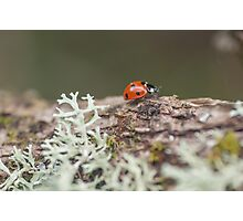 Ladybird with Lichen Photographic Print