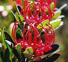 Tasmanian Waratah by bethgardner