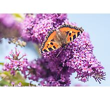 Small Tortoiseshell Photographic Print