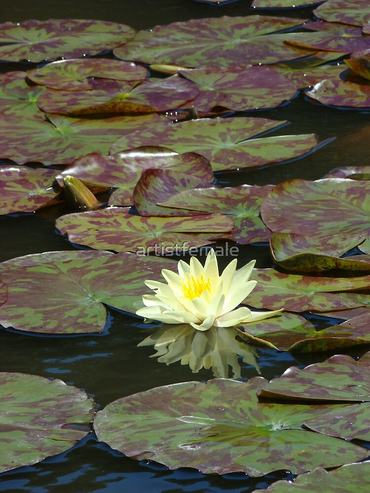 Water Lily by artistfemale