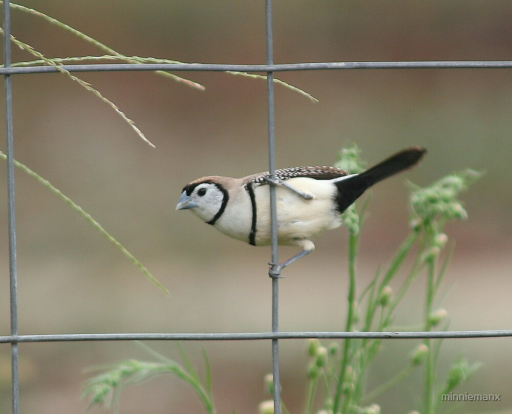 Doubled-barred Finch by minniemanx