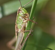 Meadow Cricket by Jemma Stovell