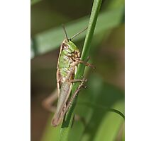 Meadow Cricket Photographic Print