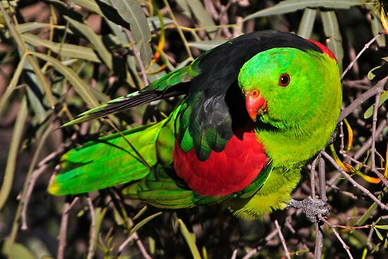 Red-winged Parrot  by Robert Elliott