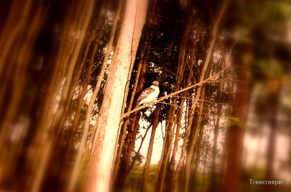 Kookaburra by Treecreeper