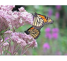 Butterfly Duet Photographic Print