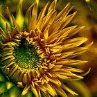 Sunflower by LudaNayvelt