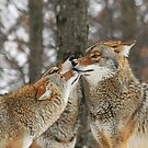 prairie wolves kissing by Shell Spillenaar