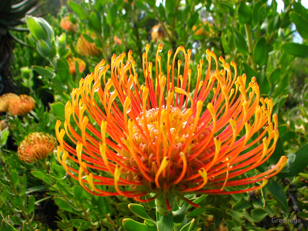 KINGS PARK BANKSIA by Greeneye