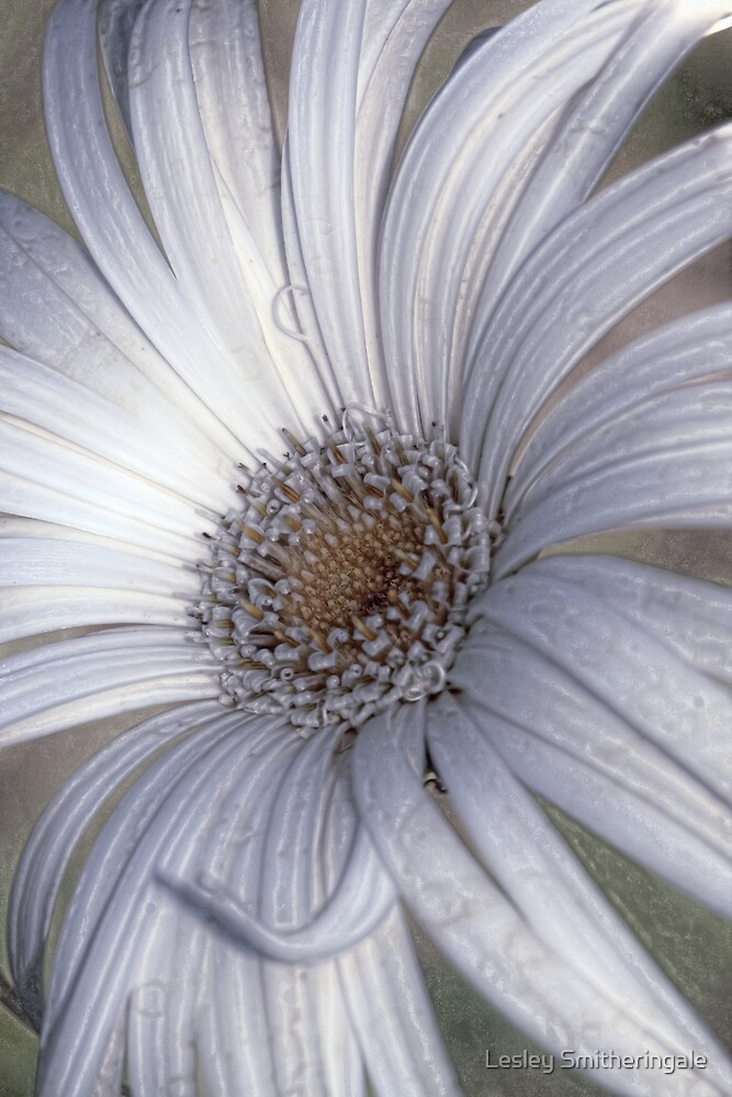 White Daisy Abstract VIII by Lesley Smitheringale