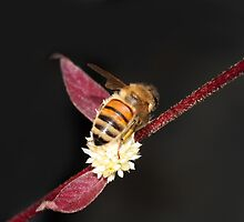 Bee on Burgandy I by Lesley Smitheringale
