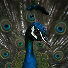 Peacock  by JAHphoto