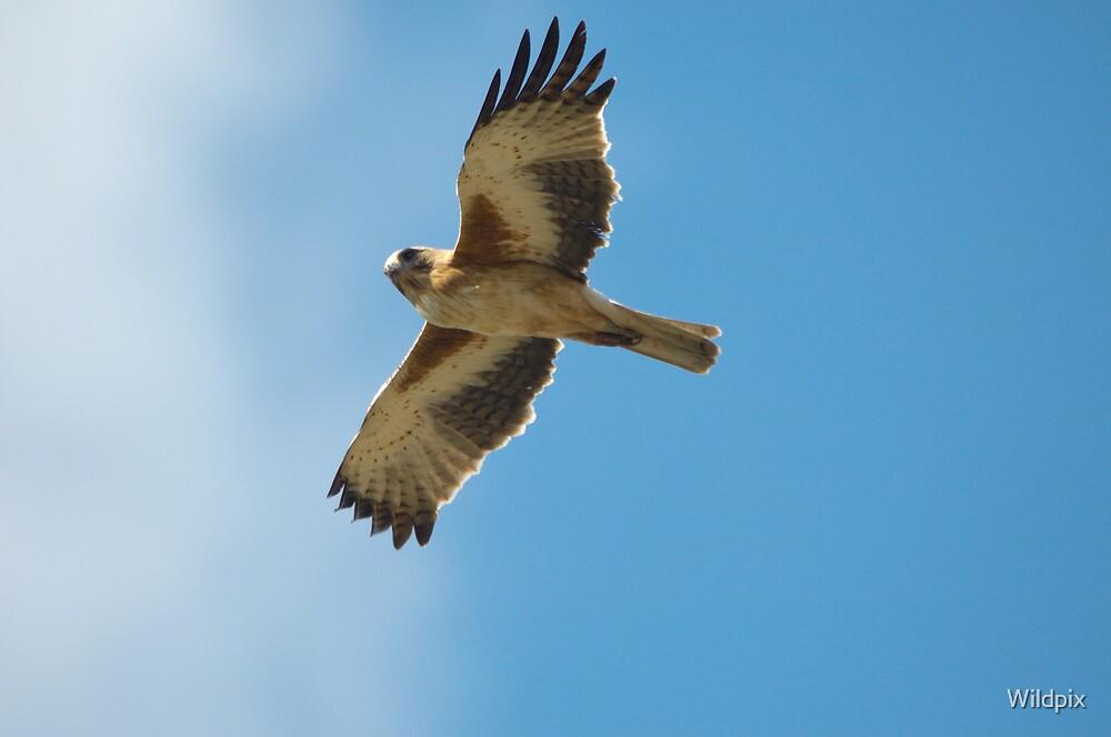 Little Eagle by Wildpix