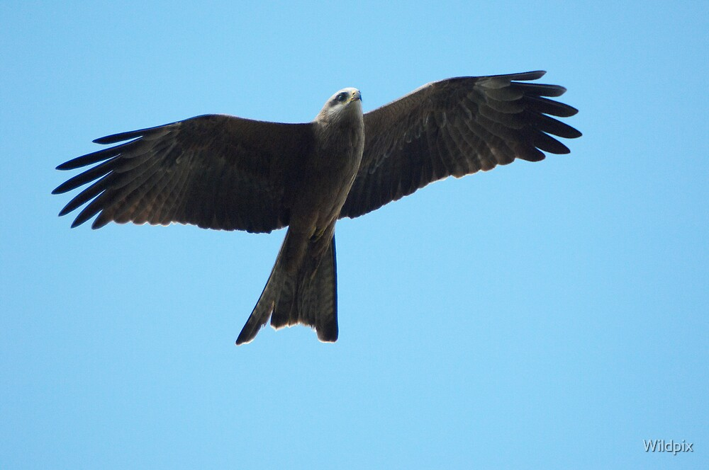 Black Kite by Wildpix