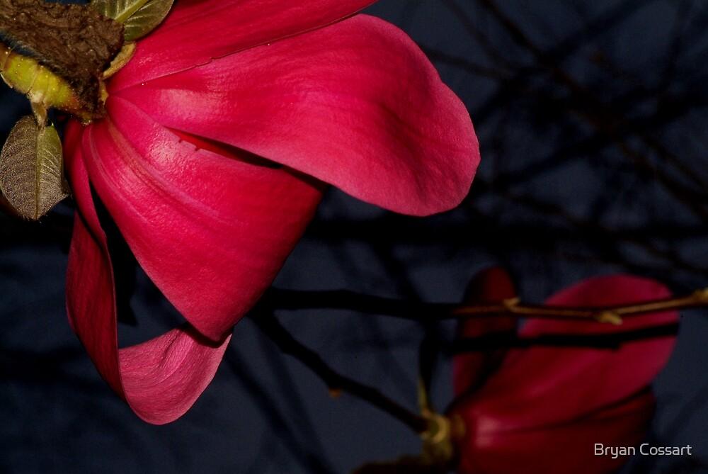 Vulcan Magnolia by Bryan Cossart