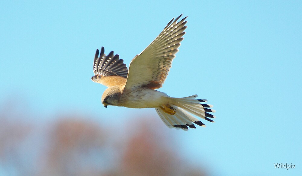 Australian Kestrel (2) by Wildpix