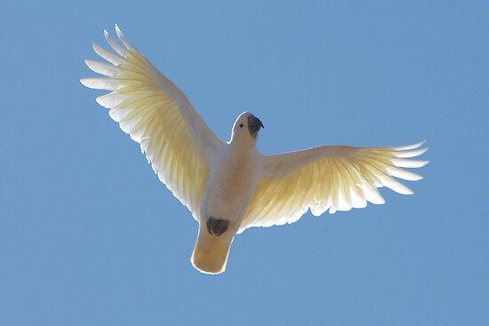 Sulphur-Crested Cockatoo by Wildpix