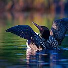 Rise n' Shine - Common Loon by Jim Cumming
