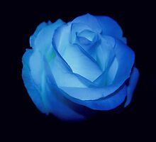 Blue rose flower by ladyrh