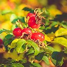 Rugosa Rose Hips by 7horses
