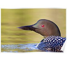 Closeup Common Loon Poster