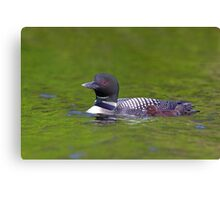 Common Loon with chick Canvas Print