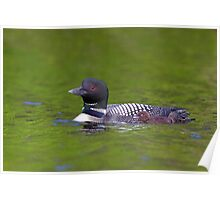 Common Loon with chick Poster