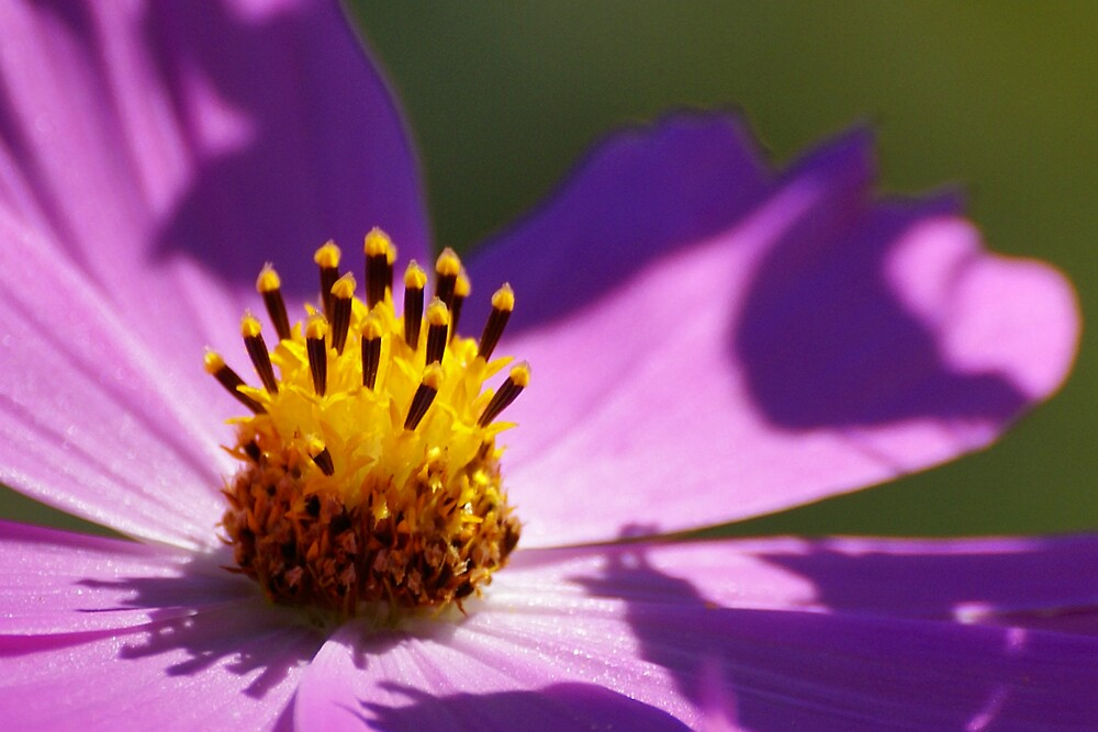 Pink Flower by Stojs