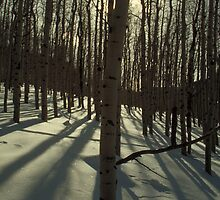 Sunrise Aspens by Shane Smith