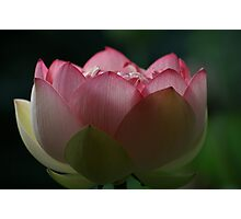 Soft Touch Lotus Photographic Print