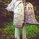shaggy ink cap (Coprinus comatus)  by 7horses