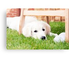 Golden retriever dog puppy looking at balls Canvas Print