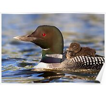 Common loon and chick Poster