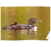 Common loon twins Poster