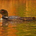 Follow the leader - Common loon by Jim Cumming