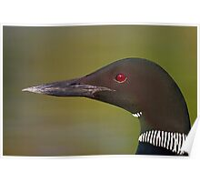 Common Loon profile Poster