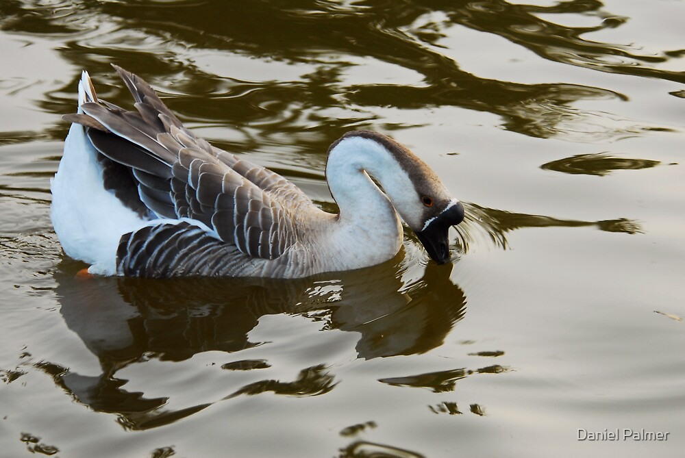 African Goose by Daniel Palmer