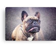 Cute French bulldog puppy, dog looking up Canvas Print