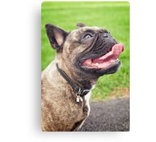 Cute French bulldog puppy, dog looking up 2 Canvas Print