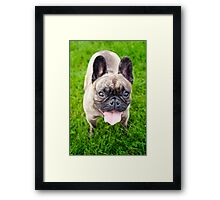 Cute French bulldog puppy, dog looking up 3 Framed Print