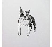 Pen and Ink Boston Terrier  Photographic Print