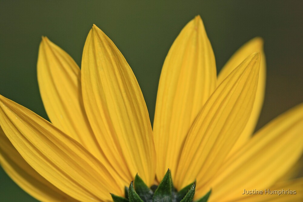 Yellow Petals by Justine Humphries