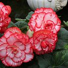 Begonia red and white. by Jeanette Varcoe.