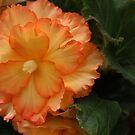 Orange Begonia by Jeanette Varcoe.
